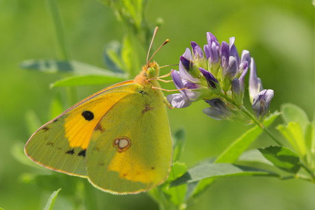 Postillion Colias croceus