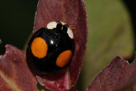 Asiatischer Marienkäfer (Harmonia axyridis) 3