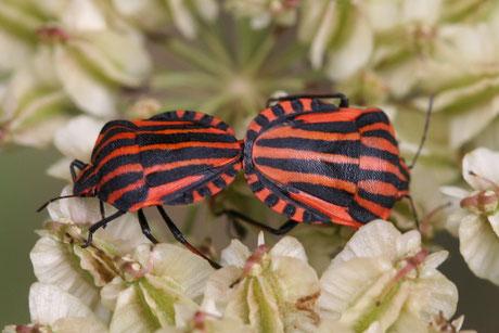 Wanzen (Heteroptera)