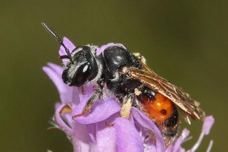Knautien-Sandbiene  (Andrena hattorfiana)