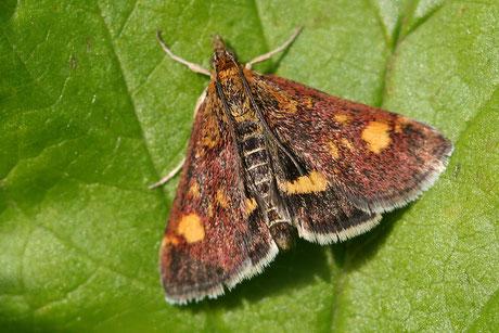 Kleinschmetterlinge  (Micropterigoidae)