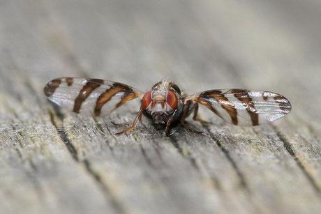 Schmuckfliege Myennis octopunctata