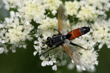 Cylindromyia-brassicaria