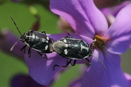 Kohlwanze  (Eurydema oleracea)