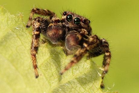 Spinnen & Spinnentiere (Araneae) (Arachnida)