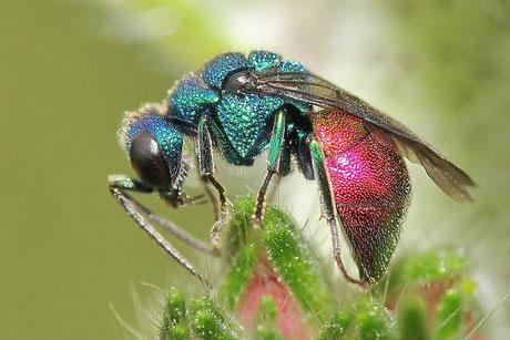 Goldwespen (Chrysididae)