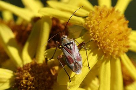 Weichwanzen  (Miridae)