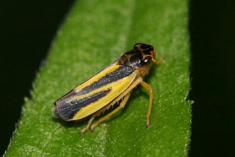Zikaden (Auchenorrhyncha)