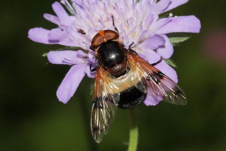 Gemeine Hummel-Schwebfliege (V. pellucens)