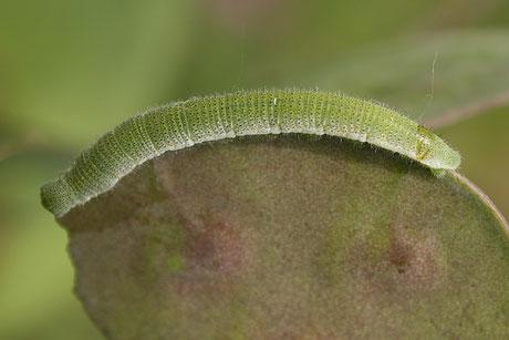 Aurorafalter (Anthocharis cardamines) Raupe an Silberblatt