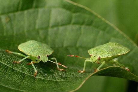 Grüne Baumwanze  (Palomena prasina)