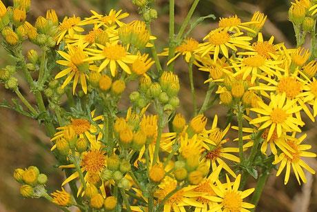Jakobs-Kreuzkraut (Senecio jacobaea) Futterpflanze der Raupe