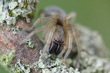 Sackspinnen (Clubionidae)