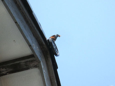 餌を運ぶイソヒヨドリの雄