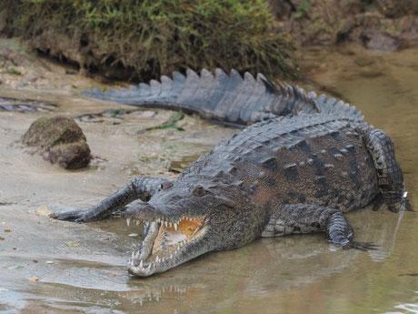 Das kleine  Krokodil in der Marina