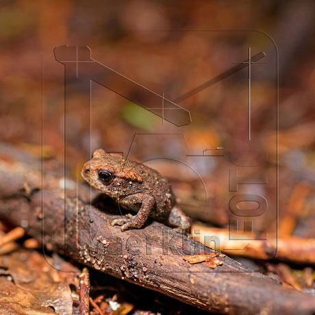 junge Erdkröte