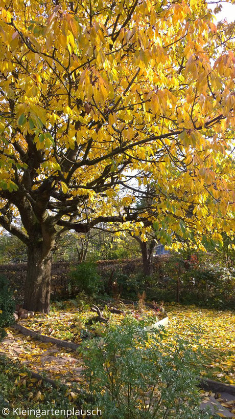 Kirschbaum im gelben Herbstkleid, diverse Blätter auf dem Rasen