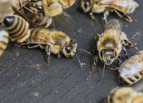 Carnica Biene Imkerei Sutter Honig