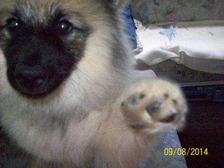 Hope-Babette Wolfsspitz Welpe Keeshond Puppy