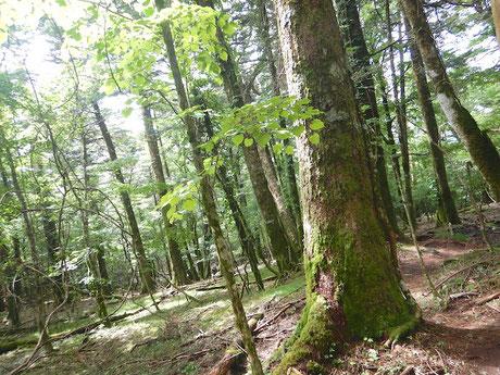 ウラジロモミの林