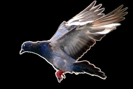 Quelle: Pixabay pigeon-1693113_1280