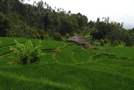 Blick auf Reisfeld