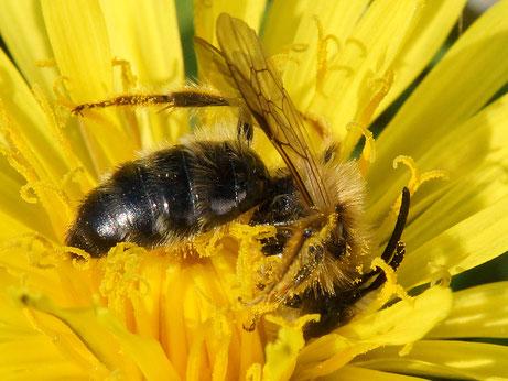 16.04.2016 : Wildbiene im Löwenzahn