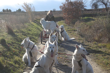kart chien berger blanc suisse cherokee