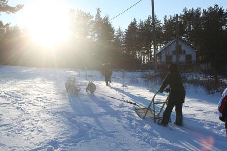 berger blanc suisse musher mushing attelage traineau camprieu les luges poil long chiot