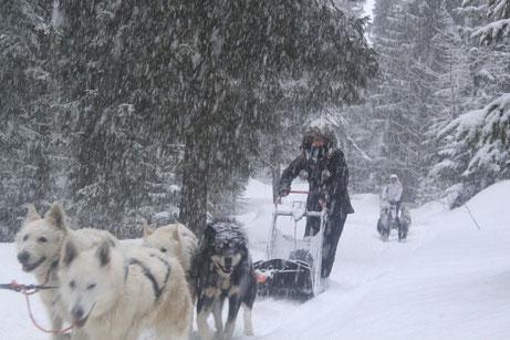 berger blanc suisse musher traineau dans la neige rando dans les sapins