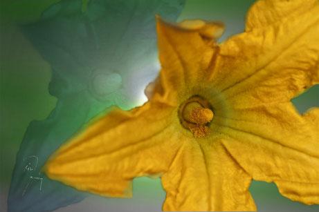 Zucciniblüte