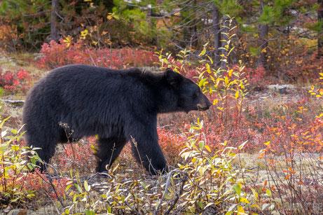 schwarzbär, bär, wohnmobil, kanada, roadtrip, natur, fotografieren, reisen, tipps, bären