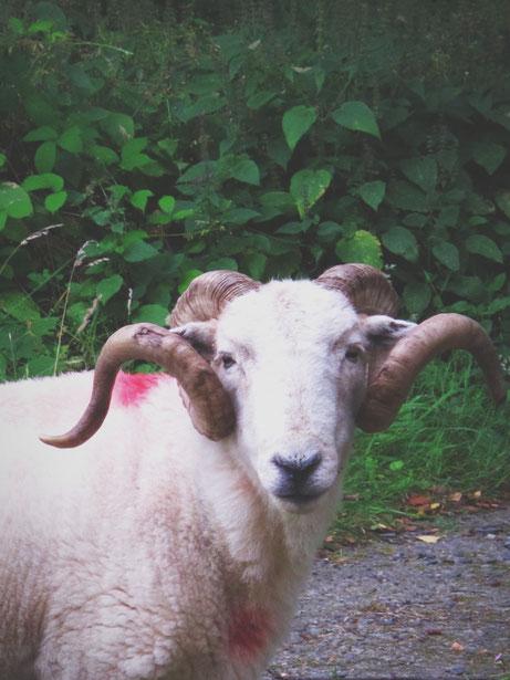 moutons snowdonia