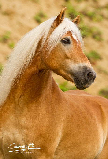 Haflinger Hengst Stargate - Top Horse of the Year 2012