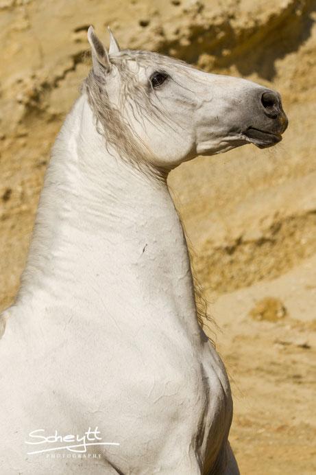 Andalusier Hengst Naviero - ein Traumpferd!