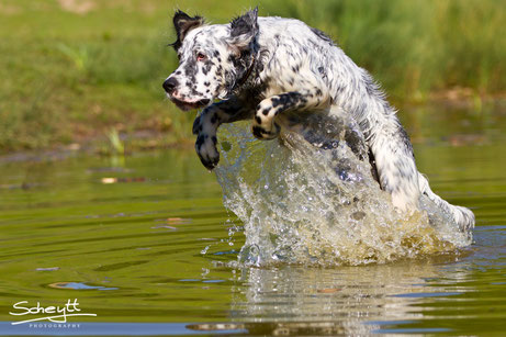 Fotoshooting Hund NRW English Setter