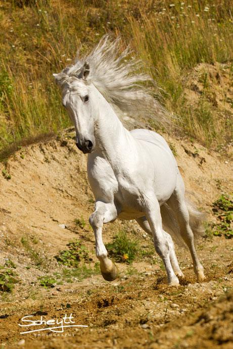 Hengst Naviero, ein wunderschöner Andalusier!