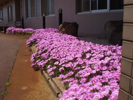 繁殖力の強い「マツバギク」。花壇からはみ出してきました