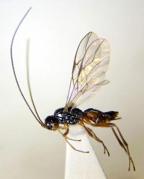 Alysiinae sp.