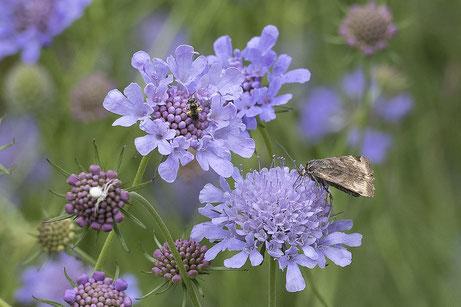 Biene auf einem Natterkopf Echium vulgare - Bestäuber an der Arbeit