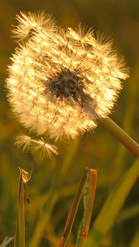 Pusteblume im Herbst in der Goldenen Stunde
