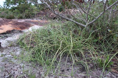 Euphorbia sobolifera O.L.M. Silva & P.J. Braun, type habitat. Bahia 2019. Photo: Dr. Pierre Braun