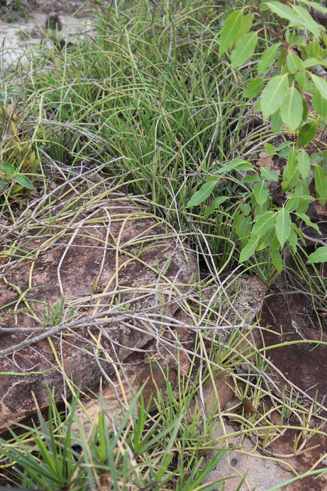 Euphorbia sobolifera, type habitat. Bahia 2019. (Photo: Braun)