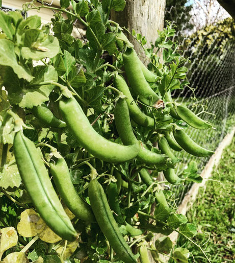 Growing peas along our boundary fences.