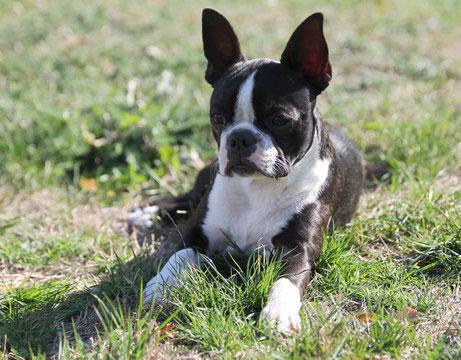 Boston Terrier, Welpen, klub für terrier, niedersachsen, hamburg, zucht, züchter,