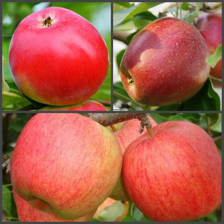 районированные многосортовые плодовые деревья в Клину