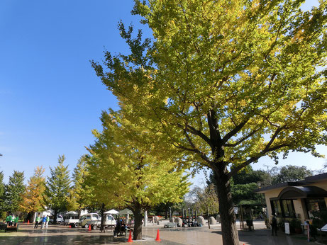 まずは、国分寺駅から南西の方向にある都立武蔵国分寺公園です。この公園には外周500mの広々とした円形広場があり、ウォーキングをしたり、はらっぱでのんびりと公園ピクニックも楽しめます。訪れたのは、11月6日、イチョウ並木の黄葉が進んでいました。