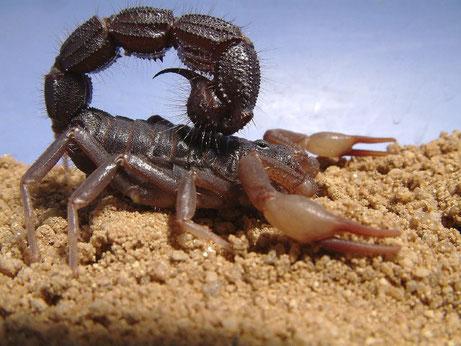 Ces sauterelles ont le pouvoir de piquer et d'injecter leur venin comme les scorpions. Leur queue est armée d'un dard. Cet organe pointu d'attaque est connecté à une glande venimeuse. La piqûre de scorpion est très douloureuse.