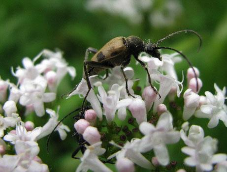 Gefeckter Blütenbockkäfer (Judolia cerambyciformis)
