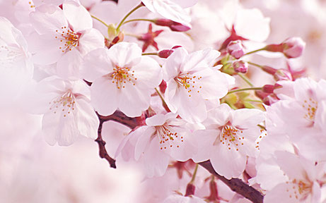 花ひろ 一輪の花